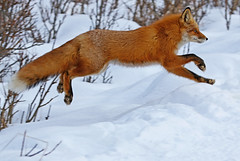 Leaping Over A Berm (AlaskaFreezeFrame) Tags: fox redfox vixen cute nature wildlife outdoors canon telephoto alaska alaskafreezeframe animals mammals carnivore predator zorro sly snow frost winter beautiful gorgeous posing closeup portrait anchorage 70200mm