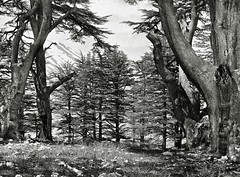 The Cedars of Lebanon ( 1857 ) - Francis Firth