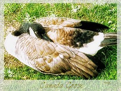 Goose in the Grass (Marcia Portess-Thanks for a million+ views.) Tags: digitalpainting elarte photography photoart art snoozing plumas feathers green grass park canada vancouvercanada lanaturaleza nature wildlife ganso ave bird canadagoose marciaaportess marciaportess map gooseinthegrass