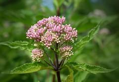Say it ain't so, Joe (jmunt) Tags: wildflower flower joepyeweed eutrochiummaculatum