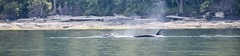 Can you see her? (A Wild Western Heart) Tags: ocean woman nature heaven dolphin ethereal orca killerwhale whalewatching orcinusorca salishsea canada animalplanet