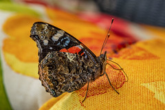 Red Admiral (isaiahkasper) Tags: butterfly insect indiana color red orange wings wildlife bug beautiful admiral couch nature photography nikon flickr naturephotography d600