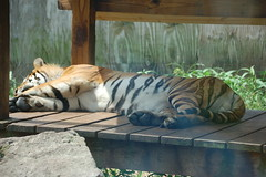 LivingTreasureZoo14 (alicia.garbelman) Tags: livingtreasureszoo pennsylvania tigers