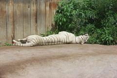 LivingTreasureZoo12 (alicia.garbelman) Tags: livingtreasureszoo pennsylvania tigers