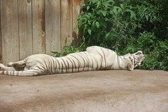 LivingTreasureZoo11 (alicia.garbelman) Tags: livingtreasureszoo pennsylvania tigers