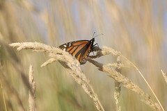 Monarch butterfly in field (rkohar) Tags: monarch butterfly lemoinepoint kingston ontario canada canon6d sigma150600mm contemporary outside outdoors outdoor nature brown orange black sigma telephoto beautiful emotional