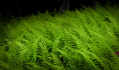 Ferns (RWGrennan) Tags: fern ferns forest west sand lake ny green light nature plant shadow outdoors nikon d610 rwgrennan rgrennan ryan grennan outside summer texture tamron