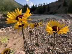 Wildflowers. Scapegoat Wilderness. Montana (montanatom1950) Tags: montana hiking wilderness