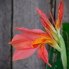 Evening Canna Lily (Gene Ellison) Tags: plant flower cannalily orange petals yellowstripes garden fence fujifilm velvia