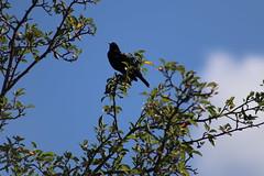 IMG_2680 (intimaralem85) Tags: saintpaul minnesota comolake lake wild wilderness birds plants flowers summer
