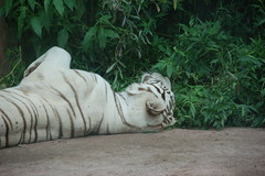 LivingTreasureZoo20 (alicia.garbelman) Tags: livingtreasureszoo pennsylvania tigers