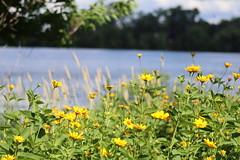 IMG_2642 (intimaralem85) Tags: saintpaul minnesota comolake lake wild wilderness birds plants flowers summer