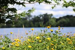IMG_2641 (intimaralem85) Tags: saintpaul minnesota comolake lake wild wilderness birds plants flowers summer