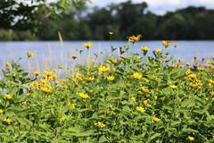 IMG_2640 (intimaralem85) Tags: saintpaul minnesota comolake lake wild wilderness birds plants flowers summer