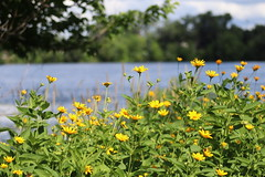 IMG_2639 (intimaralem85) Tags: saintpaul minnesota comolake lake wild wilderness birds plants flowers summer