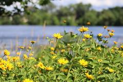 IMG_2637 (intimaralem85) Tags: saintpaul minnesota comolake lake wild wilderness birds plants flowers summer