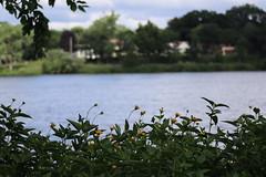 IMG_2627 (intimaralem85) Tags: saintpaul minnesota comolake lake wild wilderness birds plants flowers summer