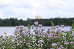 IMG_2607 (intimaralem85) Tags: saintpaul minnesota comolake lake wild wilderness birds plants flowers summer