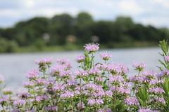 IMG_2605 (intimaralem85) Tags: saintpaul minnesota comolake lake wild wilderness birds plants flowers summer