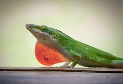 Green lizard (Seminole Digital) Tags: anole green lizard red