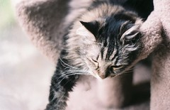 Mama Cat, July 2019 (mjsantiago3) Tags: nikonem 35mmfilm 35mm orlando florida maine coon cat nikon