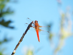 Autumn Meadowhawk Dragonfly (gurdonark) Tags: dragonfly insect watters branch trail allen texas autumn meadowhak wildlife