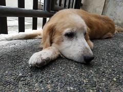 Somber (manuelluisubaldo) Tags: dog goldenretriever pet cute gloomy closeup phonetography perspective