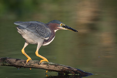 Fish Finder (gseloff) Tags: greenheron bird feeding nature wildlife water reflection horsepenbayou pasadena texas kayak gseloff