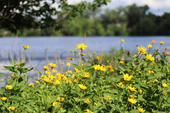 IMG_2638 (intimaralem85) Tags: saintpaul minnesota comolake lake wild wilderness birds plants flowers summer