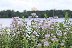 IMG_2608 (intimaralem85) Tags: saintpaul minnesota comolake lake wild wilderness birds plants flowers summer