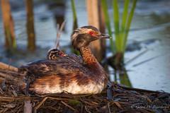 Horned Grebe (Turk Images) Tags: hornedgrebe podicepsauritus alberta birds grebes hogr waterbirds