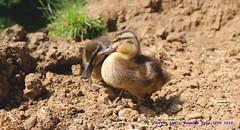 Land Ahoy....... (law_keven) Tags: duckling ducks dedham england suffolk photography wildlifephotography wildlife birds avian essex riverstour