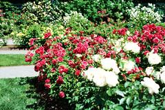 Peggy Rockefeller Rose Garden (Xenograft) Tags: kodak ektachrome e100 color slide film analog rose bronx botanical garden new york nyc nikon n80 nikkor 50mm