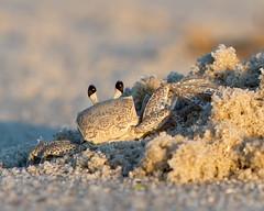 Atlantic Ghost Crab (arlene sopranzetti) Tags: atlantic ghost crab cape may new jersey beach dunes ocean summer sunset camouflage sand
