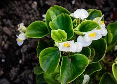 White Begonia (bfluegie) Tags: lakesidepark flower bloom white