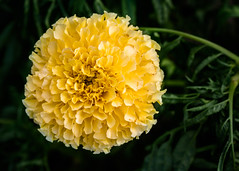 Yellow flower (bfluegie) Tags: lakesidepark flower bloom yellow