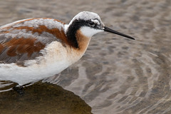 Female Wilson's Phalarope (GaryKurtz) Tags: wilsonsphalaropegarykurtzbirdphotos wildbirds birdsofalberta shorebirds