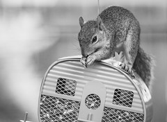 Squirrel vs. camper birdfeeder (mirsasha) Tags: tx myyard austin 2019 squirrel july