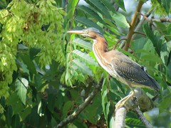 green heron in jungle scenery (Cheryl Dunlop Molin) Tags: butoridesvirescens greenheron heron waterbirds bird