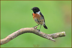 Tarier pâtre mâle ( Saxicola rubicola ) (Le Papa'razzi) Tags: tarierpâtre saxicolarubicola oiseaumigrateur bokeh perchoir nikond300s nikkor300mmf4 ion