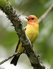Western Tanager (GaryKurtz) Tags: westerntanager garykurtzbirdphotos wildbirds birdsofbritishcolumbia birds canadacolorful