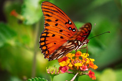 IMG_5201 (LauraJata) Tags: butterfly macro macrophotography macroinsects lakelouisastatepark