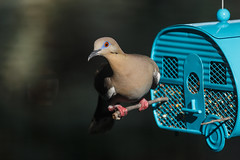 Dove (mirsasha) Tags: tx myyard bird 2019 austin july