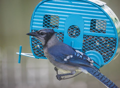 Blue on blue (mirsasha) Tags: tx myyard bird 2019 austin july