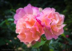 Roses of Volksgarten (WS Foto) Tags: volksgarten rose vienna austria europe eu pink rosa koeniginderblumen wien
