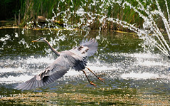 Shower Time (cotton.candy581) Tags: gbh greatblueheron heron flight shower fountain water