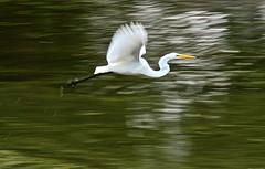 Great Egret (deanrr) Tags: egret greategret inflight flying bird wings whitebird lake morgancountyalabama alabama outdoor 2019 summer