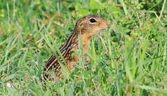 thirteen-lined ground squirrel near Vernon Springs IA 653A3414 (naturalist@winneshiekwild.com) Tags: thirteenlined ground squirrel vernon springs howard county iowa larry reis