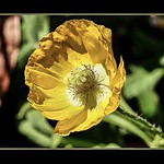 A Poppy in Sunshine. thumbnail
