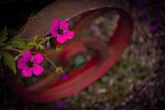 Neon pink (tonguedevil) Tags: outdoor outside countryside summer nature garden flowers colour light shadows sunlight